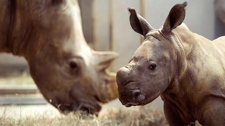 Un bébé rhinocéros dans une enceinte avec un adulte en train de paître