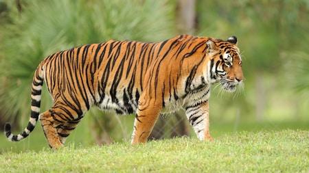 Un hermoso tigre asiático con rayas negras y anaranjadas caminando
