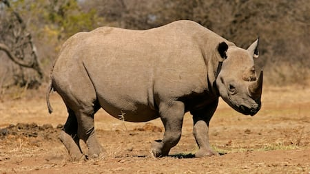 Black rhinoceros walking in dry terrain