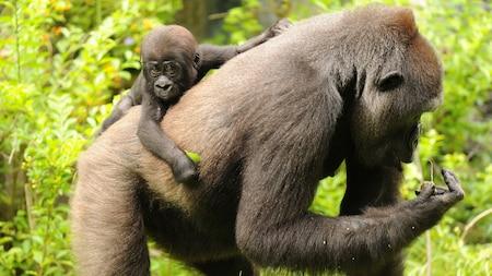 Un bébé gorille se tient au dos d'un gorille adulte.