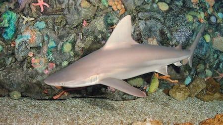 Brown shark swimming near bottom edge of coral reef