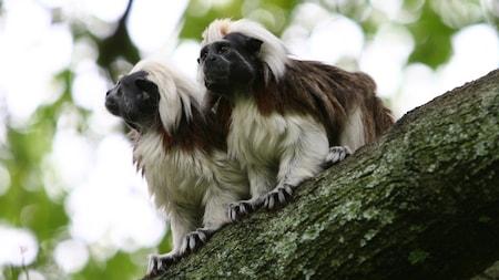 2 cotton-top tamarins standing on tree limb