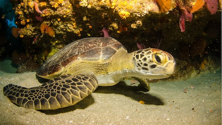 Tortuga marina carey en el fondo de un arrecife de coral