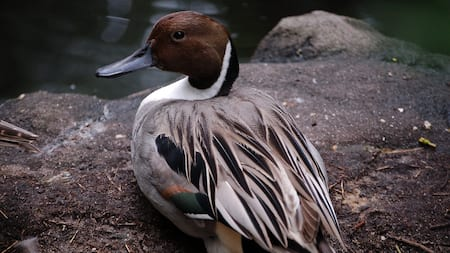 Beautiful northern pintail duck