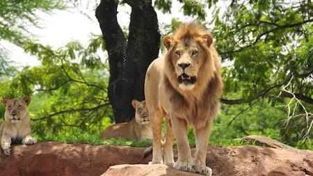 Un lion africain se tient sur un rocher, 2 une lionne est assise derrière lui.