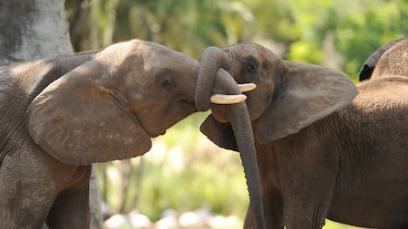 An African elephant grabs another's trunk