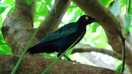 A Purple Glossy Starling bird walking on a tree branch