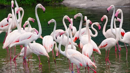 A large group of flamingos standing in the water