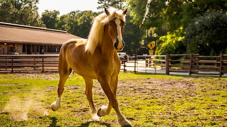 A horse running on the ranch at Disneys Animal Kingdom park