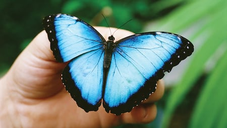 A man's hand holds a beautiful butterfly whose wings are spread