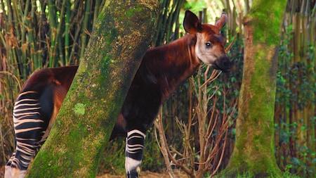 Un okapi se tient derrière un arbre