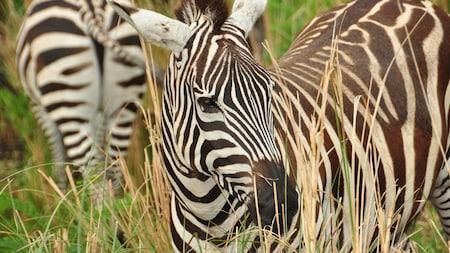 Two zebras walk through tall grass at Disneys Animal Kingdom park