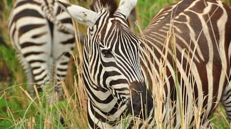 Two zebras walk through tall grass at Disneys Animal Kingdom park
