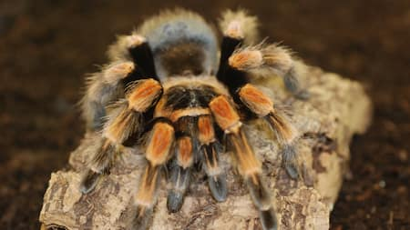 A close up view of a Mexican Red Knee tarantula
