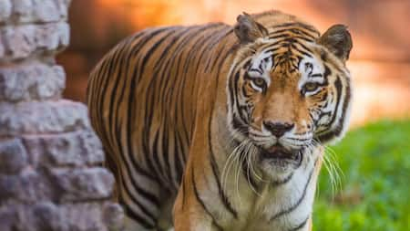 An Asian tiger gazing curiously while turning around a corner at Disney's Animal Kingdom park