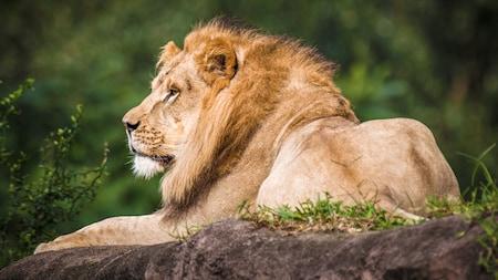 Leão africano repousa sobre uma rocha com vegetação, durante um passeio de safári no Disney's Animal Kingdom Park