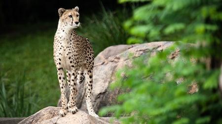 Un guepardo posado sobre un peñasco en Safi River Valley en el parque temático Animal Kingdom