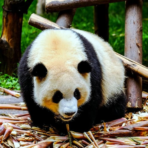 A giant panda in a pile of bamboo