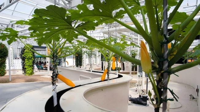 Des courges, certaines avec des fleurs et des fruits, cultivées par culture hydroponique
