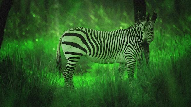 A zebra illuminated by night vision goggles during Disney's Animal Kingdom Night Safari excusion