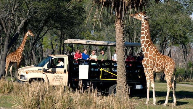 A giraffe feeding from a trees during the Wanyama Safari while excited Guests watch along in wonder