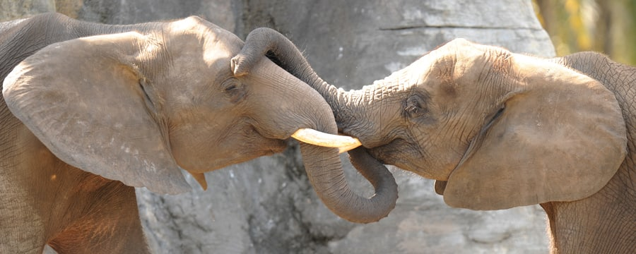 2 African elephants with tusks caressing each other's faces with their trunks