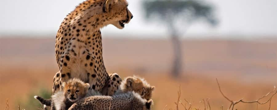 An adult cheetah with cheetah cubs on a savanna in South Africa