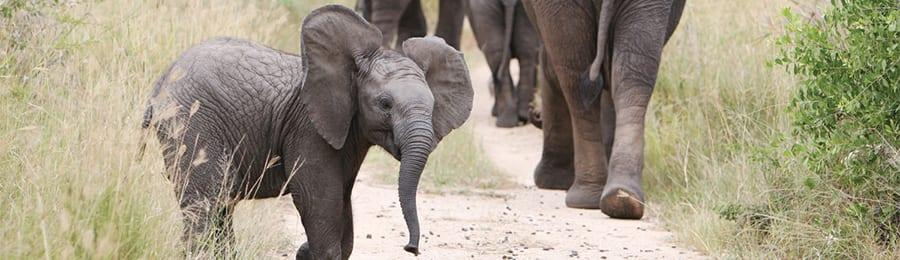 A baby elephant behind adult elephants